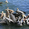 Pelicans waiting on the shrimpers' leftovers