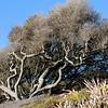 wind-blown tree
