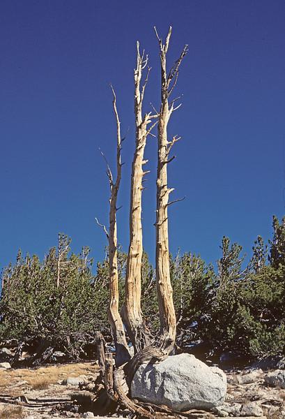 tripartite dead tree