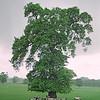 tree sheltering livestock