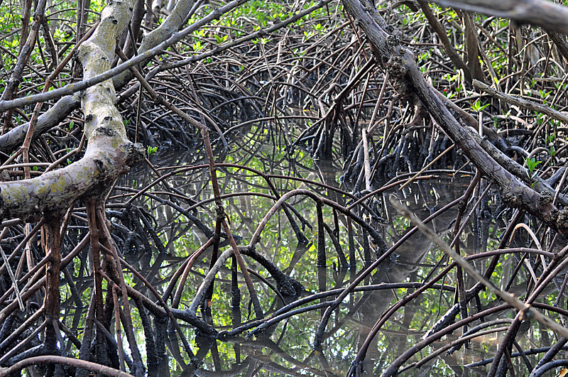 Red Mangrove roots