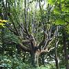 Old tree in churchyard