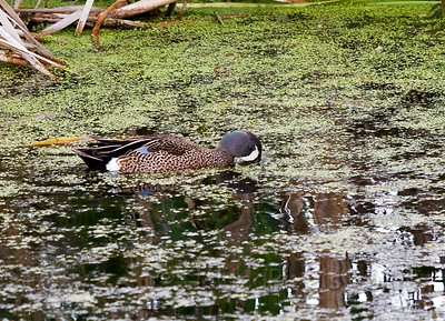 Blue-winged Teal - Male