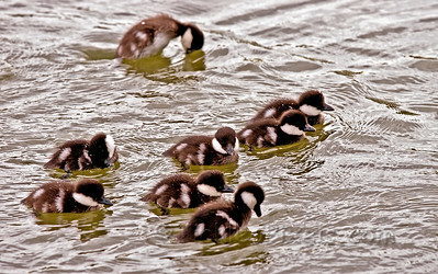 Common Goldeneye Chicks