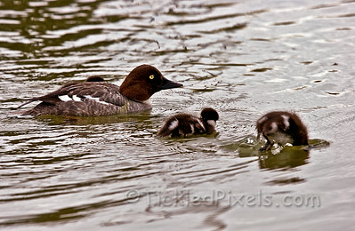 Common Goldeneye (female) and Chicks