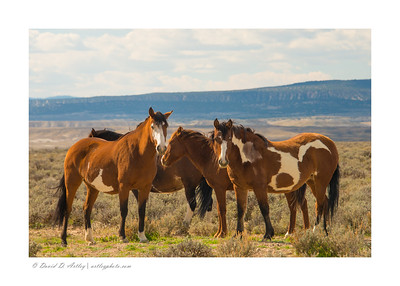 Wild Horses, Sand Wash Basin, Colorado