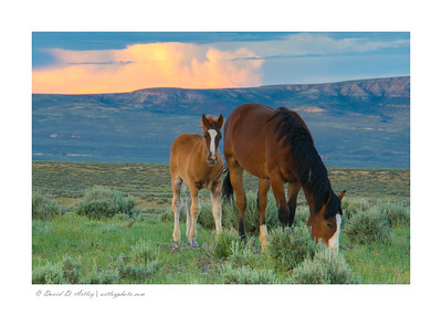 Foaling time, Sand Wash Basin Wild Horse Management Area, CO