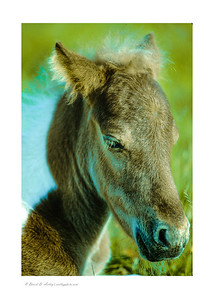 Wild Pony Foal, Mt. Rogers National Recreation Area
