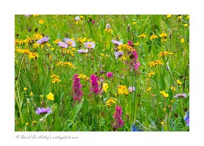 Wildflowers, Yankee Boy Basin, near Ouray, CO