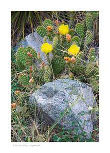 Prickly Pear in Blossom near Zapata Falls, CO