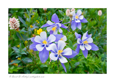 Colorado Blue Columbine in bloom, Yankee Boy Basin, near Ouray, CO
