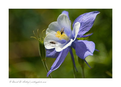 Columbine and bees, along Blue Lakes Trail, Mt. Sneffels Wilderness, near Ridgway, CO