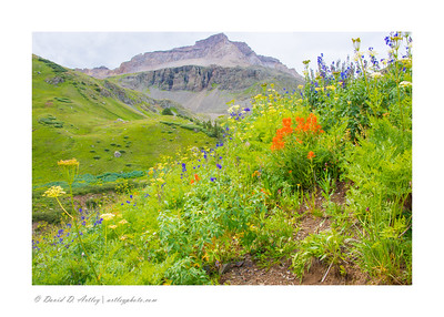 Wildflowers, Yankee Boy Basin, near Ouray, CO