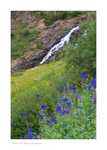 Wildflowers along Sneffels Creek, Yankee Boy Basin, near Ouray, CO