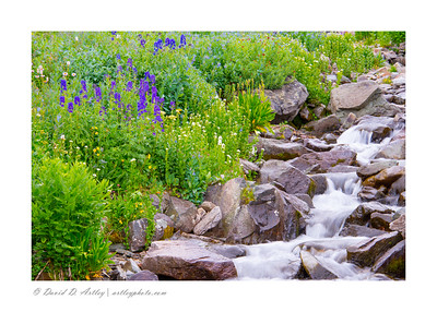 Wildflowers along Sneffels Creek, Yankee Boy Basin, near Ouray, CO