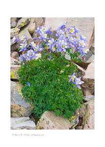 Colorado Blue Columbine (Aquilegia coerulea), Yankee Boy Basin near Ouray, CO