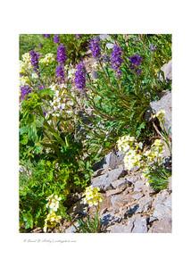 Wildflowers along Cinnamon Pass Road, near Lake City, CO