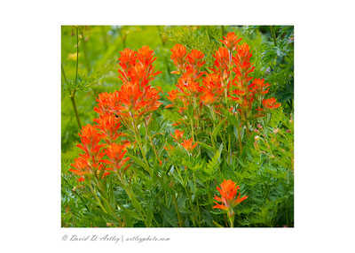 Giant Red Paintbrush (Castilleja miniata), Yankee Boy Basin, near Ouray, CO