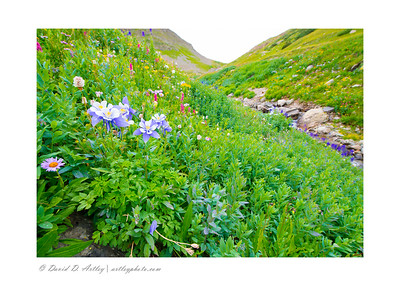 Colorado Blue Columbine in bloom along Sneffels Creek, Yankee Boy Basin, near Ouray, CO
