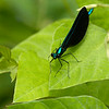 Damselfly on a leaf (Valley Forge NHP, Pennsylvania - 2014/07/19 11:43:05)