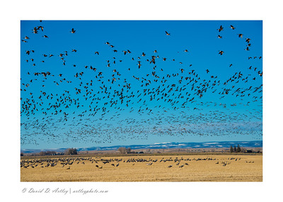 Sandhill Cranes and Canda Geese, Monte Vista National Wildlife Refuge