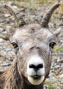 Big Horn Sheep.