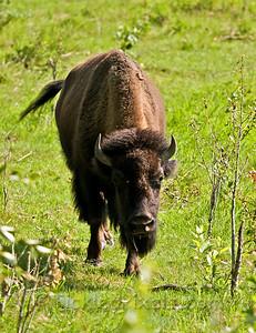 Plains Bison