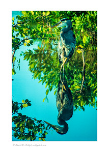 Great Blue Heron, Ding Darling National Wildlife Refufe