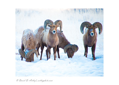 Bighorn Sheep, Garden of the Gods