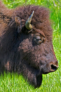 Plains Bison, Elk Island Park