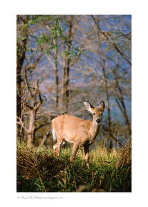 Whitetail Deer, George Washington National Forest