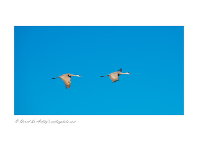 Sandhill Cranes, Monte Vista National Wildlife Refuge