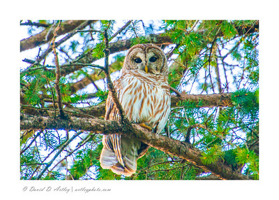 Barred Owl, Hampton, IA