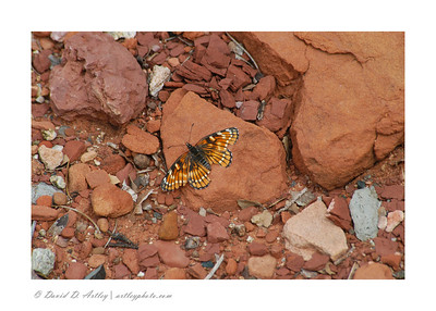 Butterfly on red rock, Wupatki National Monument