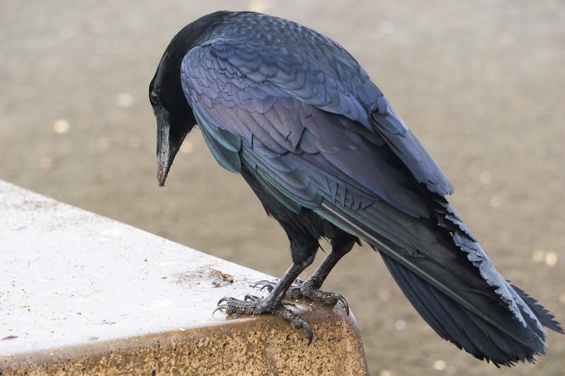 Iridescent Black Raven
