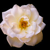 In Memory of a Rose