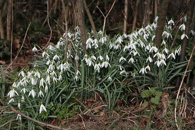A patch of snowdrops near Feniton