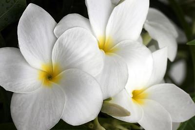 White Plumeria Trio