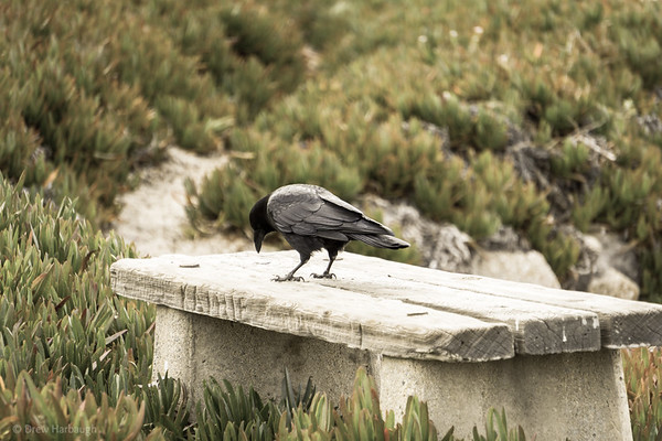 Crow on the Bench at the Beach
