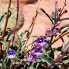 Bluemat Penstemon