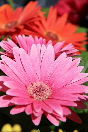 Pink Gerber Medley