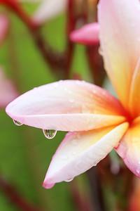Pink Plumeria Droplet