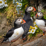 Puffin Family, Iceland
