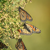 Monarch Migration II