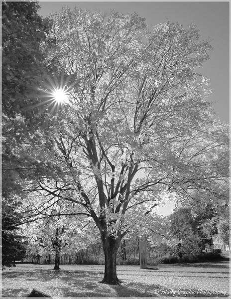 Block Park Maple Tree Kingston New York