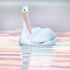 White Pelican at Dawn
