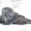 Great Grey Owl, Minnesota.