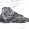 Great Grey Owl, Minnesota.