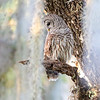 Southern Owl