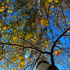 Fall Birch Tree, best view original.